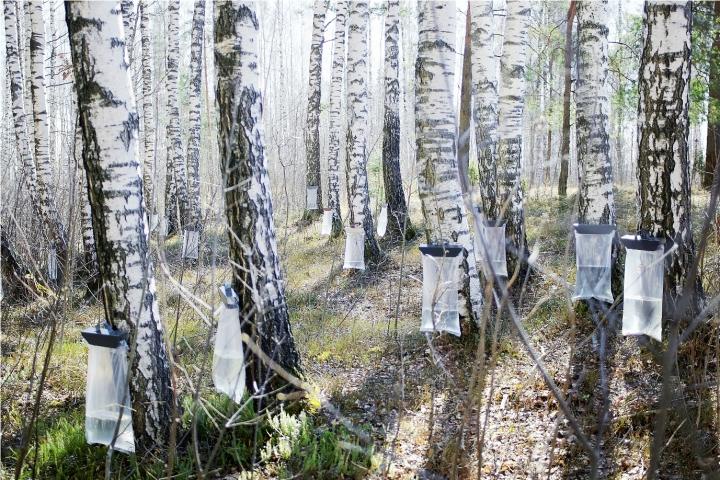 Birch gözyaşları ya da huş ağacı saplarını nasıl toplayacak 25
